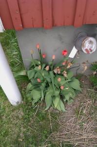 Tulpaner vid husväggen (jag tror att det är 'pipen' till oljetanken som syns bredvid...)